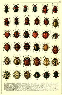 Beetles West europe