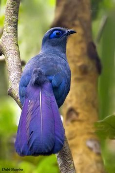Blue Coua. all my favorite shades of blue and violet found on one beautiful bird.