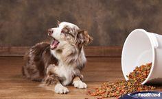 Complete Guide to Australian Shepherd Husky Mix Breed Dog Australian Shepherd Husky, Husky Mix, Mixed Breed, Cute Dogs, Corgi, Personality, Puppies, Animals, Corgis