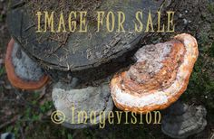 for sale fungus species