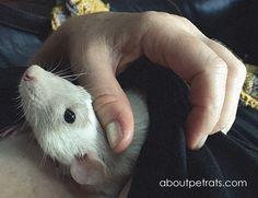 about pet rats, pet rats, pet rat, rats, rat, fancy rats, fancy rat, ratties, rattie, pet rat care, pet rat info, pet rat information, allergic to pet rats, what do I do if I'm allergic to pet rats?, humans allergic to pet rats, human pet rat allergies, allergic reactions to pet rats, how to get over allergic reactions to pet rats