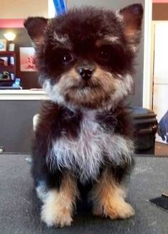 Yorkie Poo: Yorkshire Terrier & Poodle The Most Beautiful And Rare Dog Breed Mixtures You'll Ever See • Page 4 of 11 • BoredBug