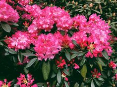 Rhododendron #rhododendron #flower #pinkflower #flowerphotography