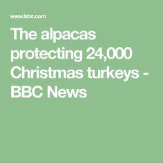 The alpacas protecting 24,000 Christmas turkeys - BBC News