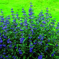 Choose the right plants for an alkaline planting site, and watch your flowers and foliage thrive. Part Shade Plants, Shade Shrubs, Shade Grass, Shade Perennials, Clay Soil Plants, Planting In Clay, Planting Flowers, Ornamental Grasses For Shade, Evergreen Shrubs