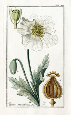 Botanical Illustration  Opium Poppy, Papaver somniferum
