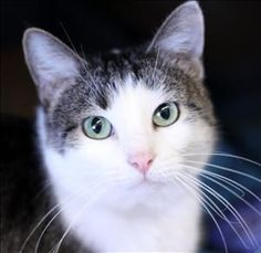 Meet Tabby, a Petfinder adoptable Domestic Short Hair Cat | Lexington, KY | Hello world, my name is Tabby! I am a white and brown tabby cat who is about 3 years old (as of...