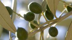 Ελιά: Πως να αυξήσουμε την περιεκτικότητα των καρπών σε λάδι | Yara Ελλάς Fruit