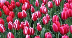Tulpen gehören zur Familie der Liliengewächse und sind die mit Abstand größte und variantenreichste Zwiebelblumengattung. Es gibt etwa 150 Arten, in Mittel- und Südeuropa, Nordafrika und Vorder- bis Zentralasien beheimatet sind.