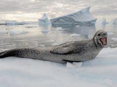 Un léopard de mer, à Port Charcot, en Antarctique
