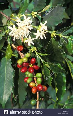kona-coffee-plantclose-up-of-beans-red-green-with-white-flowers-and-ARYF5Y.jpg (879×1390)