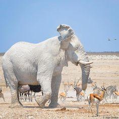 "The ""white"" or ghost elephants of Etosha National Park, Namibia. The ""white"" or ghost elephants of Etosha National Park, Namibia. Amazing Animals, Unusual Animals, Animals Beautiful, Beautiful Beautiful, Animals And Pets, Funny Animals, Animals Images, Wild Animals, Funny Cats"