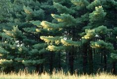 Michigan State Tree - Eastern White Pine