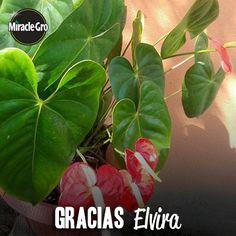 Muchas gracias a Elvira Rguez, que nos compartió esta hermosa foto de sus #anturios. ¡Hermosos!