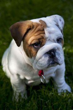 omg guys/ English bulldogs are my favorite breed. no joke