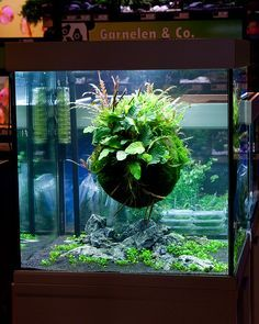 floating moss ball - Google Search