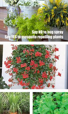 Choose these Mosquito Repelling Plants and say NO to bug spray. Click thru for details.
