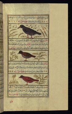 This illustration depicts a bird called shafatīn, a green magpie (shiqrāq), and a singing bird (ṣāfir). Wonders of Creation  by Qazwīnī 1293 was translated to Turkish in 1717  completed by Rūzmah-ʾi Nāthānī - W659