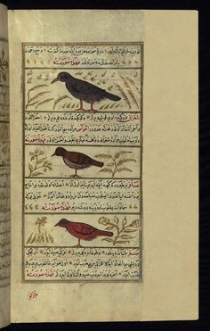 This illustration depicts a bird called shafatīn, a green magpie (shiqrāq), and a singing bird (ṣāfir). Wonders of Creation  by Qazwīnī 1293 was translated to Turkish in 1717  completed by Rūzmah-ʾi Nāthānī - W659