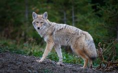 Coyote hunting in Kananaskis Country