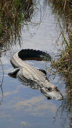 Florida - Everglades National Park is home to thousands of alligators and over 100 different reptiles and bird species  #AmericaBound @Earthbound Farm