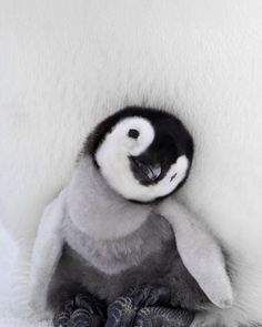 BABY PENGUIN -⠀ photo by: Daisy Gilardini
