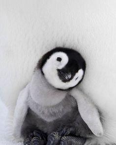 BABY PENGUIN -⠀ photo by: Daisy Gilardini
