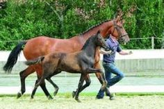 A la Dressage - Highest price foal, 200,000.00 record breaking Euros at Oldenburg Elite Foal Auction