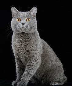 The Chartreux is a rare breed of domestic cat from France and is recognised by a number of registries around the world. It is not recognised by the GCCF in the UK, ostensibly for being too similar to the British Shorthair, one of whose colours is a simila