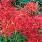 """Red Spider Lily - Full Sun to Partial Shade - Blooms in Fall - 18""""-24"""" tall."""