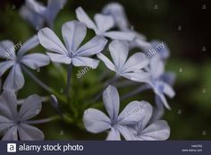 Download this stock image: Plumbago auriculata - H4N7R3 from Alamy's library of millions of high resolution stock photos, illustrations and vectors.
