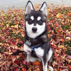 Mikko the Alaskan Klee Kai, simply put, a mini husky breed.  Fully grown at 14 inches tall #alaskankleekai #kleekai #minihusky