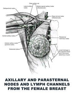 female-human-breast-anatomy-anatomy-of-the-finger-download