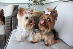 """It's the doggie """"can you touch the very top of your nose with your tongue"""" challenge. Look...even Priscilla is going to give it a shot in the background, lol. Georgia is the winner! Must be from all the millions of kisses....good exercise!"""