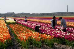 Die Schönheit von Tulpen, Narzissen, Hyazinthen, Zantedeschia, Dahlien... entdecken im Land van Fluwel in Holland