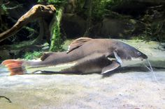 Baltimore: National Aquarium - Amazon River Forest - Monster Red-tailed catfish Red Tail Catfish, Aquarium Catfish, Rainforest Habitat, Glass Pavilion, Monster Fishing, Kelp Forest, Amazon River, Marine Life, Fish Tank