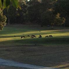 #australia #iloveaustralia #kangaroo #victoria #greatoceanroad #ilovemelbourne by xavier_paris