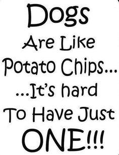 Especially Chihuahuas