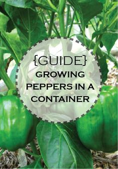 Learn how to grow Bell Peppers in a Container Garden!
