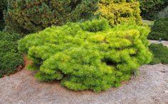 15 sziklakerti növény, mellyel beültetheted a sziklakertet! Backyard, Plants, Gardening, Bingo, Patio, Lawn And Garden, Backyards, Plant, Planets