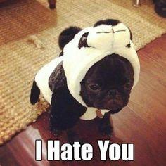 Pugs in costume.  Lol!!