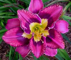 Daylily 'Catcher In The Eye'
