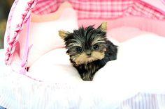 Precious Teacup Yorkie puppy