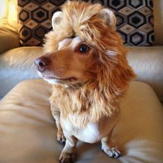 Image result for DACHSHUND lion costume