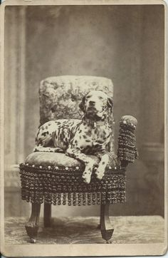 """c.1870s cabinet card of a regal Dalmatian, wearing a heavy collar with a padlock, and lying on a fringed chair in photographer's studio. On verso imprint: """"Mills, Manchester and Earlville's Photographer."""" Most likely, Iowa. From bendale collection"""