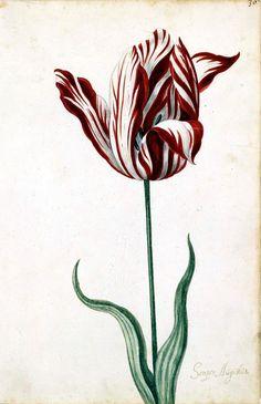17th Century tulipmania