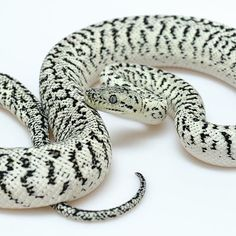 "Axanthic Granite Jaguar ""Mr Oreo"" carpet python"