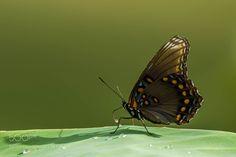 butterfly by AnthonyLe2 via http://ift.tt/2kk7KQF