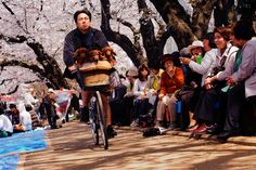 Ueno Park; Hanami & three puppies in the basket