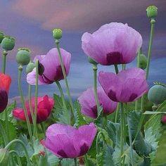 #Repost @corno_gabriele #awesome #amazing #cool #colors #magic #majestic  #lit #light #love #life #Hope #Harmony #Horizons #Idyll #Imagine #Inspired #Incredible #Follow #PhotOfTheDay #Wonderland #Fairytale #poppies #meadow #mesmerized #enchanted